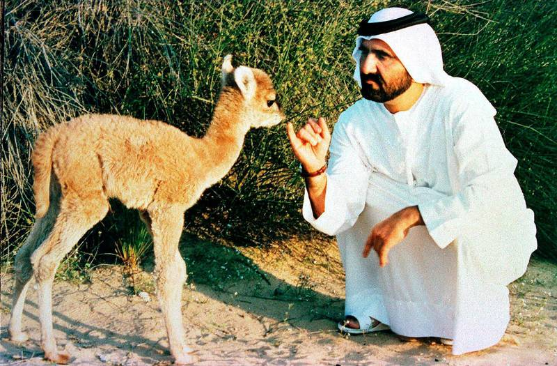 RESIZED. United Arab Emirates Defense Minister and Dubai Prince, Sheikh Mohammed Ben Rashed al-Maktoum, plays with the first cross-breeding between a camel and a Llama 19 January. The cross-breeding was carried out at the government veterinary center in Dubai and the male baby has around 60 percent of a camel features. / AFP PHOTO / WAM