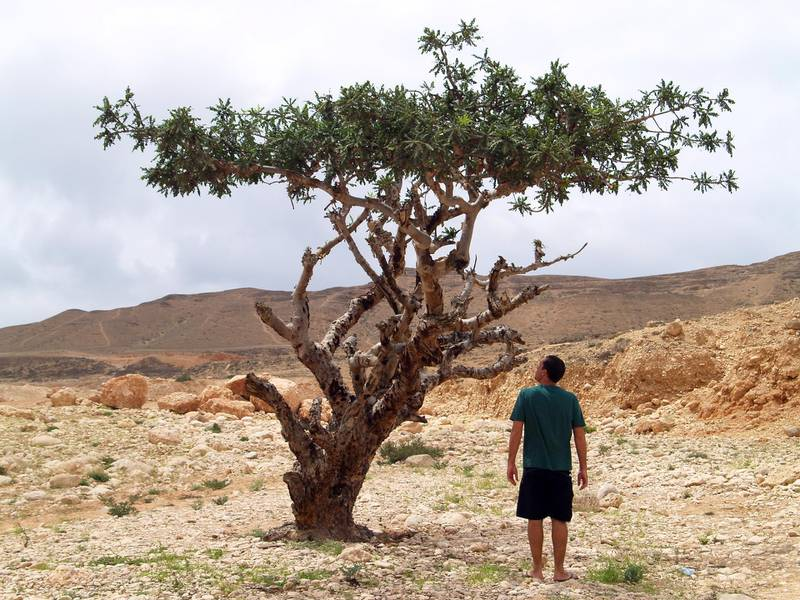 Rui Guimaraes takes a close look at a frankincese tree, which was the source of valuable trade in the past century - Paolo Rossetti for The National