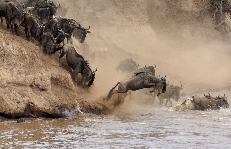 Annual migration in Kenya. Getty Images