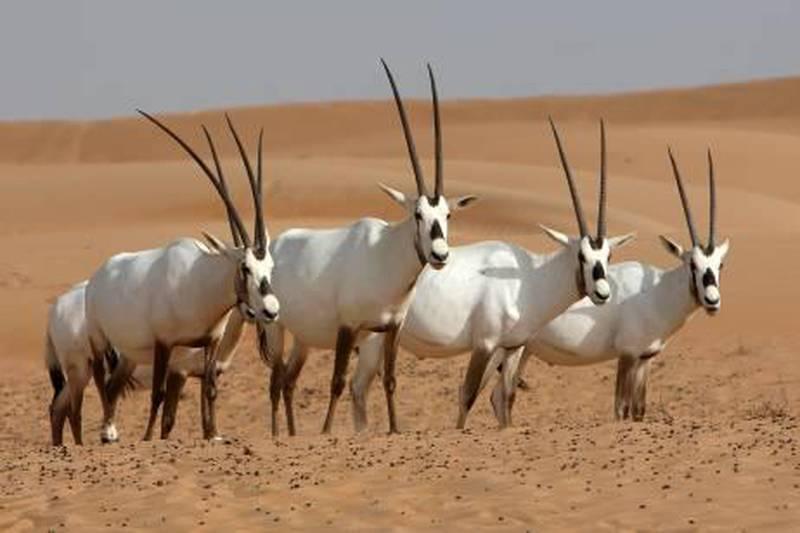 DUBAI, UNITED ARAB EMIRATES Ð June 18, 2011: Arabian Oryx at the Dubai Desert Conservation Reserve area in Dubai. (Pawan Singh / The National) For News. Story by Colin