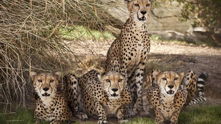 An image that illustrates this article Cheetahs to return to India after 70 years