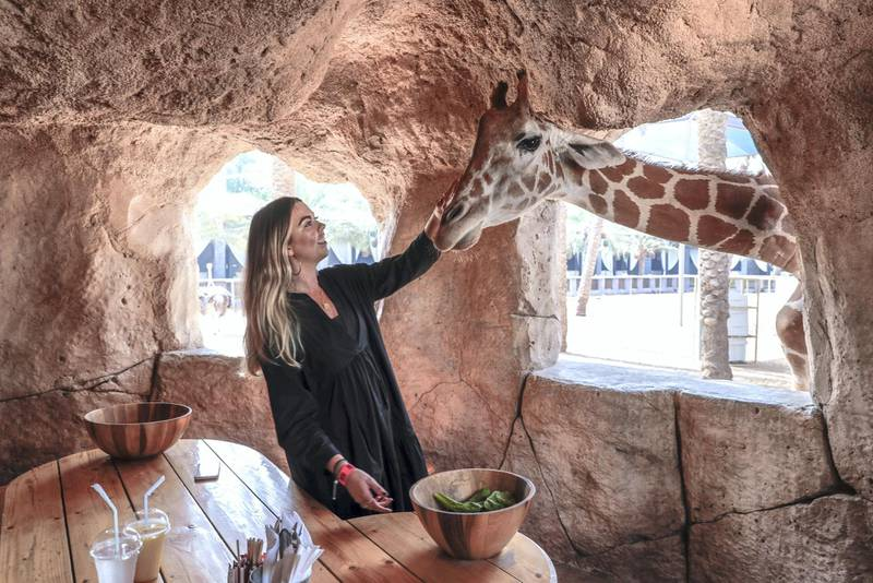 Abu Dhabi, United Arab Emirates, August 4, 2019.  Breakfast with giraffes at the Emirates Park Zoo. Victor Besa/The NationalSection:  NAReporter:  Sophie Prideaux