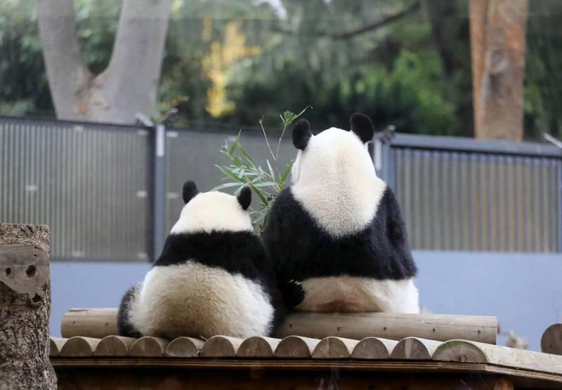 Female giant panda cub Xiang Xiang (L) sits next to her mother Shin Shin (R) at Ueno Zoo in Tokyo on November 12, 2018. (Photo by JIJI PRESS / JIJI PRESS / AFP) / Japan OUT