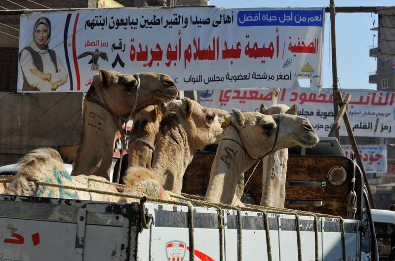 A truck carrying camels drives under campaign banners of candidates which are seen in a street, before the first round of the parliamentary election, in the Giza suburb of Awsim, Egypt October 18, 2020. Picture taken October 18, 2020. REUTERS / Shokry Hussien