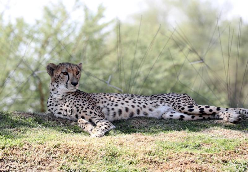 Al Ain, United Arab Emirates - Reporter: Patrick Ryan: A cheetah in the cheetah enclosure. Press conference to announce new exhibits at zoo. Thursday, January 29th, 2020. Al Ain Zoo, Al Ain. Chris Whiteoak / The National