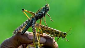 Pakistan braces for locust invasion amid coronavirus pandemic