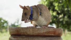 Cambodia's famous mine-sniffing rat retires with 71 finds