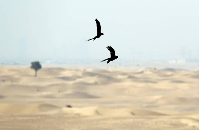 Dubai, United Arab Emirates - October 23, 2019: Standalone. Birds fly in couples over the desert. Thursday the 24th of October 2019. Dubai. Chris Whiteoak / The National