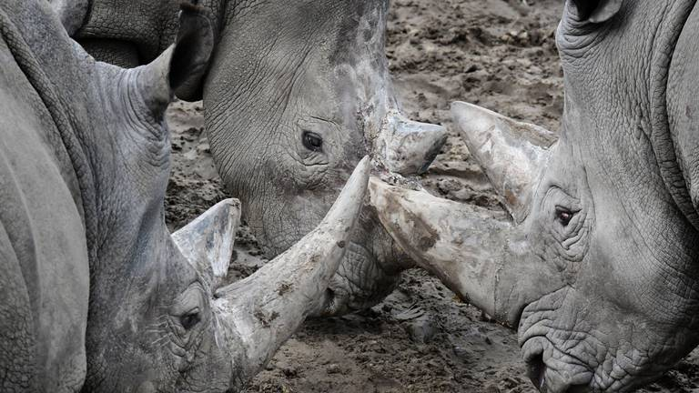 An image that illustrates this article Rhino drowns fleeing amorous male at Dutch zoo
