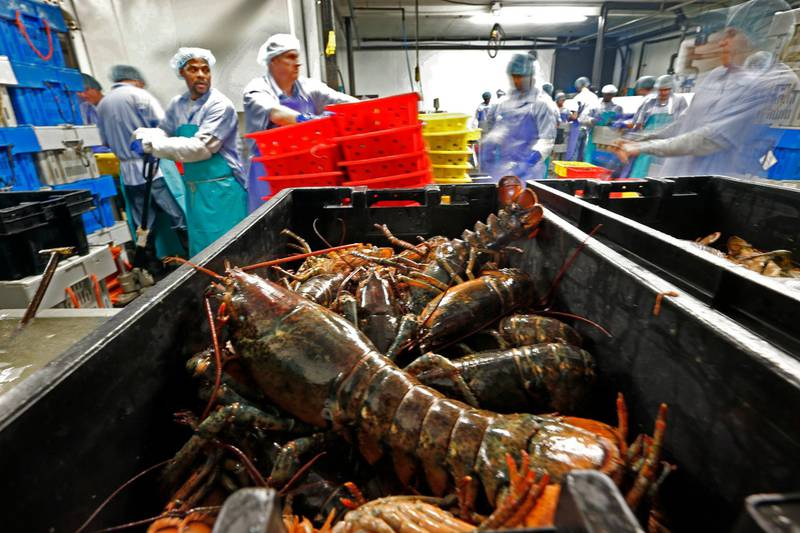 FILE - In this June 20, 2014, file photo, lobsters are processed at the Sea Hag Seafood plant in St. George, Maine. A set of retaliatory tariffs released by China includes a plan to tax American lobster exports, potentially jeopardizing one of the biggest markets for the premium seafood. Chinese officials announced the planned lobster tariff, Friday, June 15, 2018, along with hundreds of others amid the country's escalating trade fight with the United States. (AP Photo/Robert F. Bukaty, File)