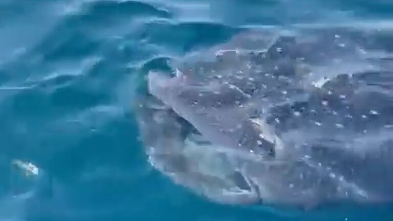 An image that illustrates this article Whale sharks spotted at Abu Thama, north of Bahrain