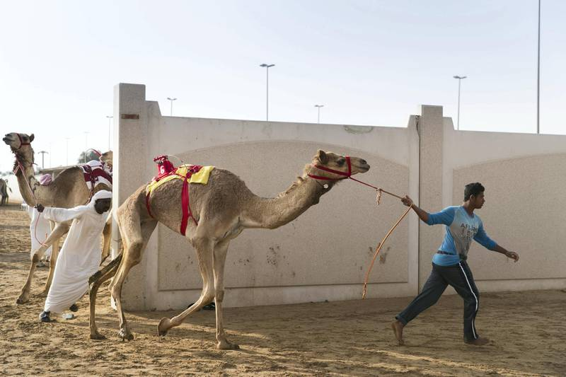 DUBAI, UNITED ARAB EMIRATES - Feb 15, 2018.  Camels behind the racetrack at Al Marmoum, about to enter the camel race.  The fastest camels in the Gulf will compete for cash, swords, rifles and luxury vehicles totalling Dh95 million at the first annual Sheikh Hamdan Bin Mohammed Bin Rashid Al Maktoum Camel Race Festival in Dubai.   (Photo: Reem Mohammed/ The National)  Reporter: Section: NA