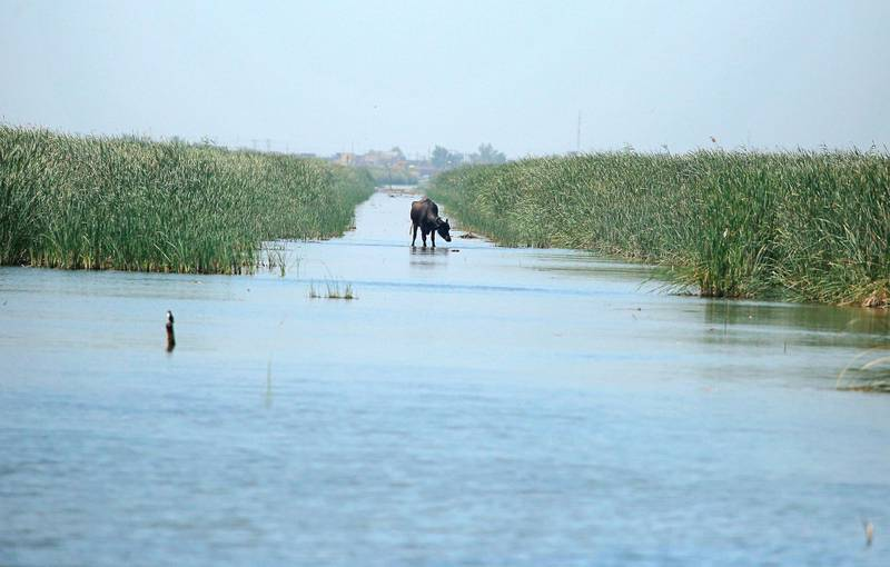 A water buffalo walks on the remnants of an old military road built in the marshes by Saddam Hussein during the Iran-Iraq war, Chibayish, Iraq, Saturday, May, 1, 2021. Deep within Iraq's celebrated marsh lands, conservationists are sounding alarm bells and issuing a stark warning: Without quick action, the UNESCO protected site could all but wither away. (AP Photo/Anmar Khalil)