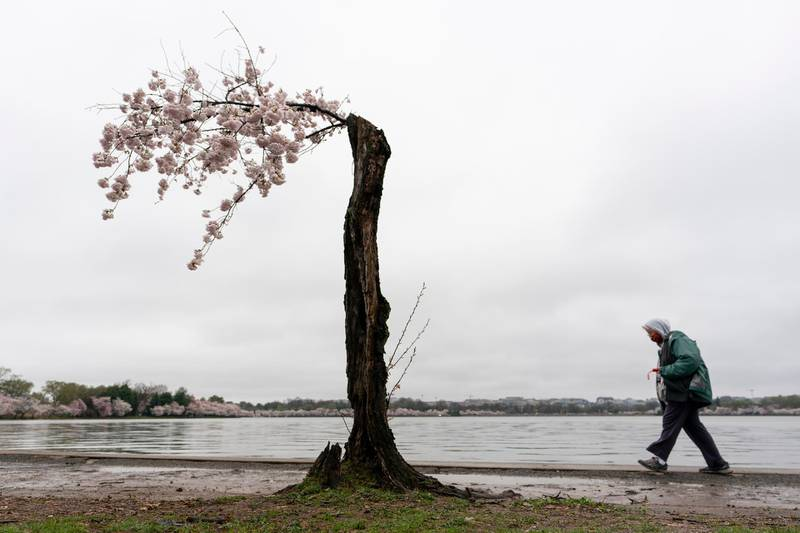 A visitor walks past a blooming Yoshino cherry tree on the edge of the Tidal Basin on a rainy Sunday, March 28, 2021, in Washington. The 2021 National Cherry Blossom Festival celebrates the original gift of 3,000 cherry trees from the city of Tokyo to the people of Washington in 1912. (AP Photo/Carolyn Kaster)
