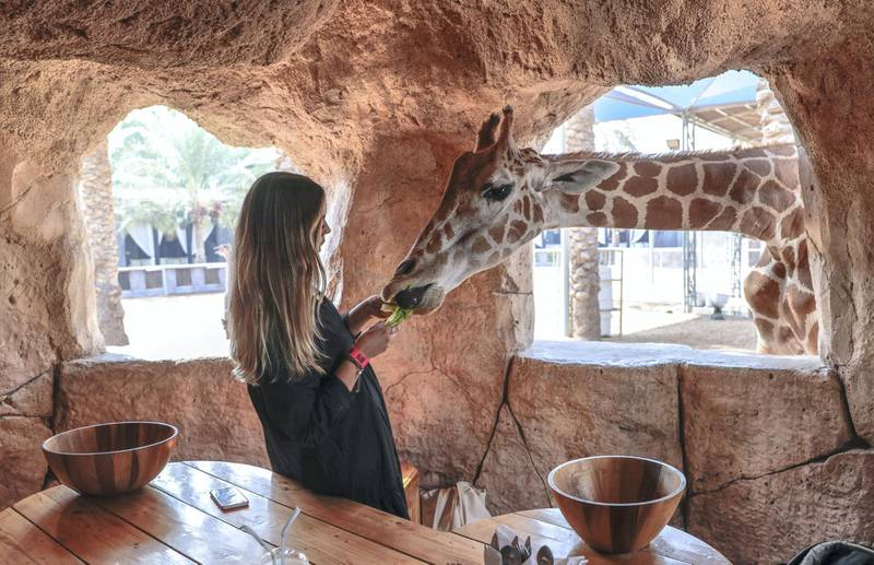 Abu Dhabi, United Arab Emirates, August 4, 2019.  Breakfast with giraffes at the Emirates Park Zoo. —  Sophie Prideaux feeds Amy by hand after gaining her trust during breakfast. Victor Besa/The NationalSection:  NAReporter:  Sophie Prideaux