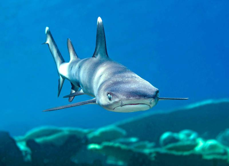 GD70NR Whitetip reef shark, Triaenodon obesus, full body view, swimming over coral reef, Maldives, Indian Ocean