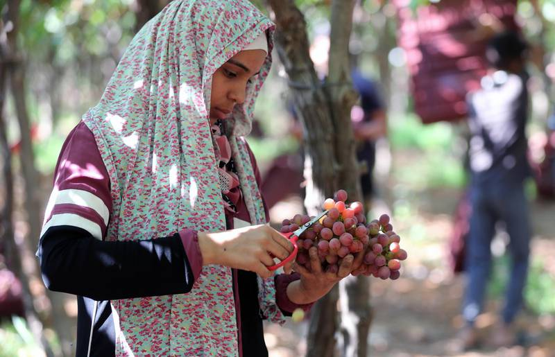 epa09270114 A worker harvests grape at the farm in Khatatba al-Minufiyah Governorate in Egypt, 14 June 2021. Table grape of this farm is exported to the EU countries, mainly Germany, England and Netherlands.  EPA-EFE/KHALED ELFIQI *** Local Caption *** 56967190