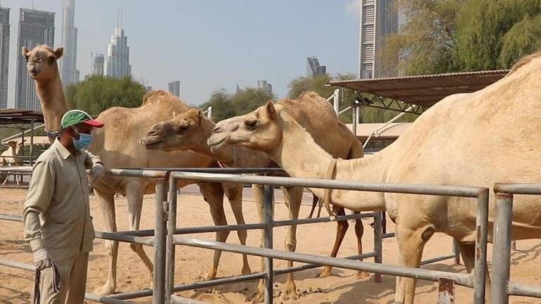 An image that illustrates this article Covid-19 vaccine for animals developed in Dubai lab