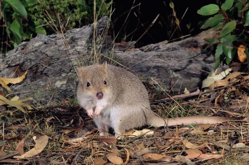 B68PKR Tasmanian Bettong Bettongia gaimardi Photographed in Tasmania Australia. Alamy
