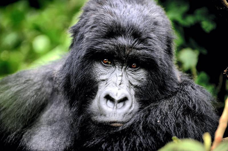 """TO GO WITH AFP STORY BY DENIS BARNETT An adult male gorilla, who park rangers say will become a silver back one day, sits in a clearing on the slopes of Mount Mikeno in the Virunga National Park on November 28, 2008. The park is home to 200 of the world's last 700 mountain gorillas. Park director Emmanuel de Merode later described the discovery of five new-borns at the outset of a month-long census as """"quite phenomenal"""", given that the endangered gorillas' habitat has long been a war zone.       AFP PHOTO/ ROBERTO SCHMIDT (Photo by ROBERTO SCHMIDT / AFP)"""