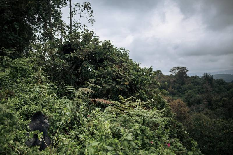A male Grauer's gorilla, a critically endangered species, rests in the forest of Kahuzi-Biega National Park in northeastern Democratic Republic of Congo, on September 30, 2019. - Since summer 2018, some local communities have started logging in this protected area, threatening gorilla habitat. (Photo by ALEXIS HUGUET / AFP)