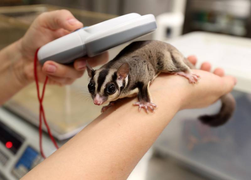 Sugar gliders are scanned and weighed by biologist Elizabeth Hill at the Green Planet. A day in the life of keepers at the Green Planet in Dubai on June 16th, 2021. Chris Whiteoak / The National.  Reporter: N/A for Lifestyle