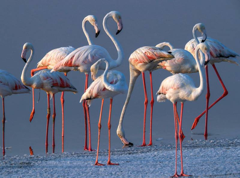 Abu Dhabi, United Arab Emirates, August 6, 2020.  Al Wathba Wetland was declared a reserve in 1998 by Sheikh Zayed, the Founding Father.It was established as a protected area following the first successful breeding of flamingos.Victor Besa /The NationalSection: NAFor:  Standalone/Big Picture