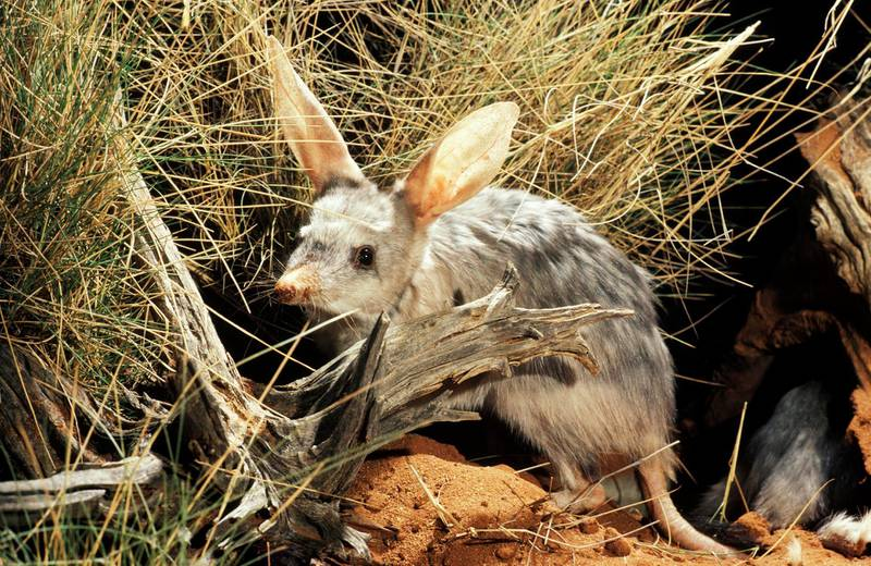 Greater bilby, Arid Zone Research Station, Alice Springs, Northern Territory, Australia. Getty Images