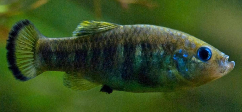 Pupfish. Courtesy Mohamed Bin Zayed Species Conservation Fund