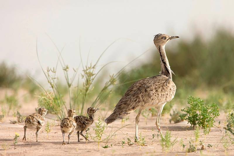 Asian houbara bustard (Chlamydotis macqueenii) - IUCN status: Vulnerable - Liking areas with sparse shrubby vegetation, it lives from the Middle East, including the UAE, to East Asia - Has suffered very rapid population declines, with fewer than 100,000 found worldwide. Courtesy International Fund For Houbara Conservation