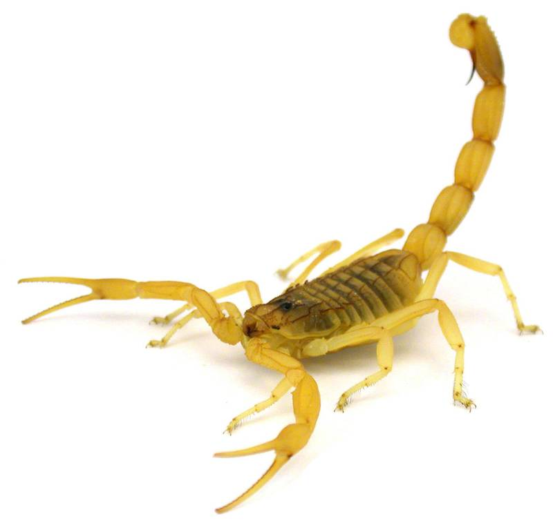 """A handout photo obtained on April 4, 2017 shows a Deathstalker scorpion (Leiurus quinquestriatus) in a defensive posture.  The world's deadliest scorpion, the death stalker, has been caught on high-speed camera for the first time lashing out with its deadly stinger, scientists reported on April 4, 2017. A comparison of half-a-dozen scorpion species filmed at extreme slow motion revealed an unsuspected variety in strike modes, they reported in the journal Functional Ecology. / AFP PHOTO / University of Porto / Arie van der Meijden / RESTRICTED TO EDITORIAL USE - MANDATORY CREDIT """"AFP PHOTO / UNIVERSITY OF PORTO / ARIE VAN DER MEIJDEN"""" - NO MARKETING NO ADVERTISING CAMPAIGNS - DISTRIBUTED AS A SERVICE TO CLIENTS"""