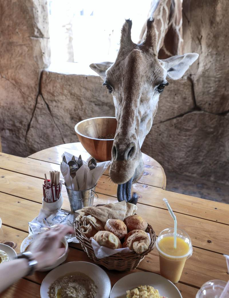 Abu Dhabi, United Arab Emirates, August 4, 2019.  Breakfast with giraffes at the Emirates Park Zoo.  —  The more daring giraffe, Amy, sticks her head in for a taste of the bread rolls. Victor Besa/The NationalSection:  NAReporter:  Sophie Prideaux