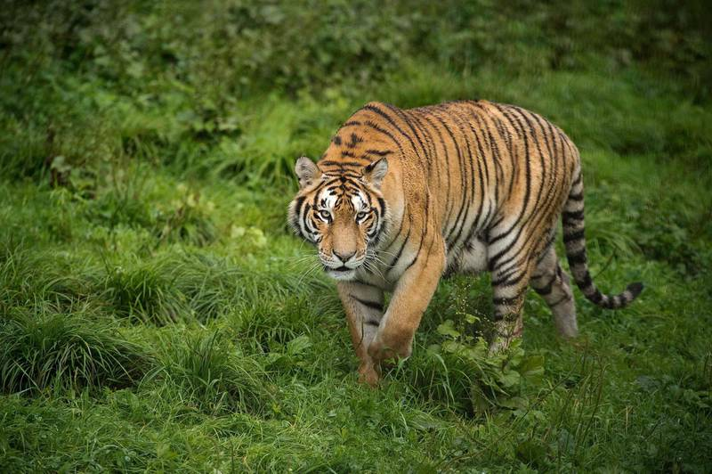 """In this picture taken on August 23, 2017, a Siberian tiger is seen at the Hengdaohezi Siberian Tiger Park in Hengdaohezi township on the outskirts of Mudanjiang. While Chinese rangers and conservationists work to increase the Siberian tigers' population in the wild, the country also hosts about 200 captive tiger breeding centres, but many have been embroiled in controversy. Parks like Hengdaohezi have repeatedly come under fire from conservationists who accuse them of being """"tiger farms"""" that breed the endangered cats for profit with no intention of returning them to the wild. / AFP PHOTO / Nicolas ASFOURI / TO GO WITH China-conservation-animal, FEATURE by Yanan WANG"""