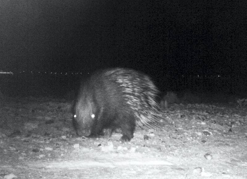 The Crested Porcupine, a rodent thought to be extinct in the UAE, was recorded by camera traps in Abu Dhabi. Environment Agency – Abu Dhabi