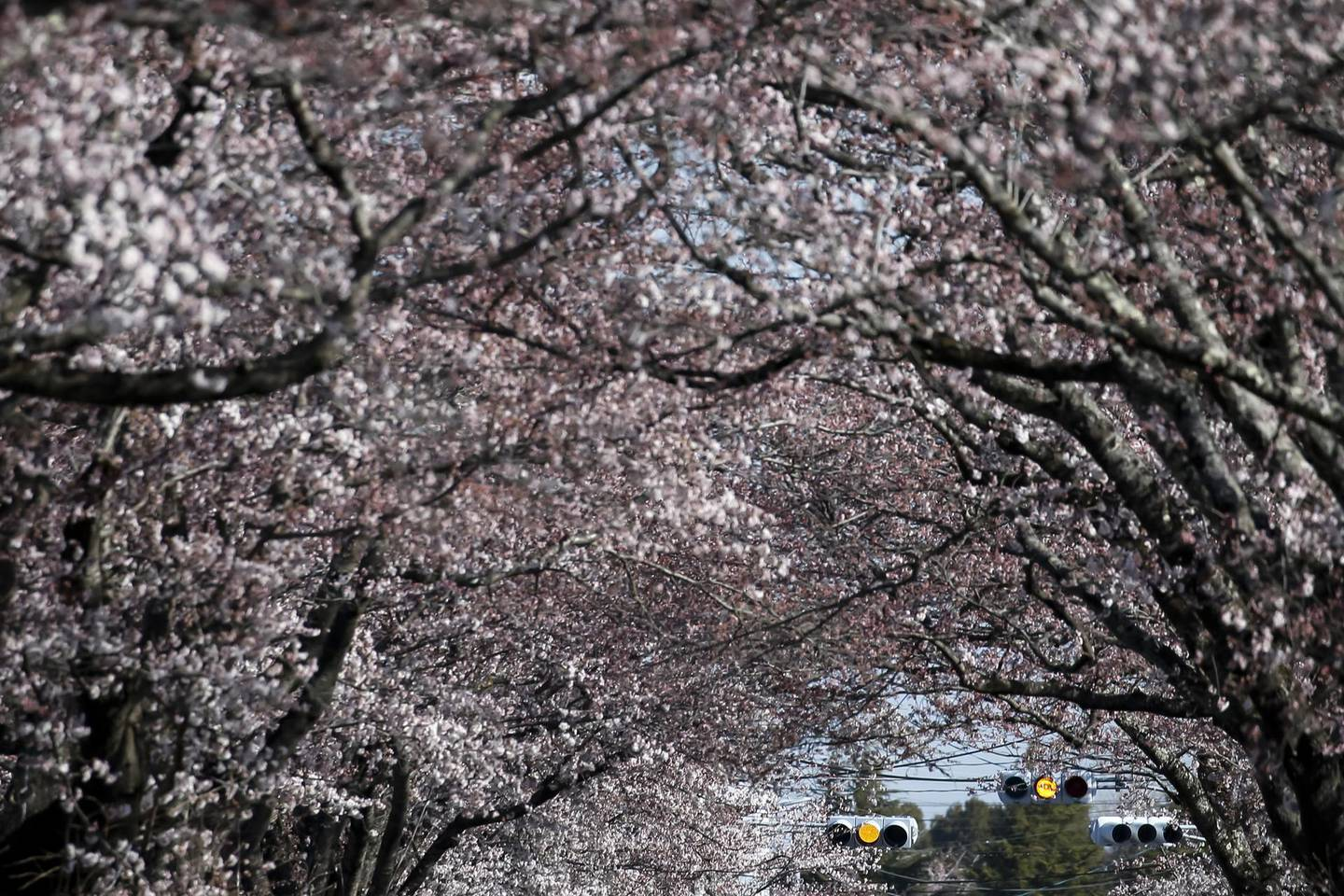 TOMIOKA, JAPAN - APRIL 06: Cherry trees are in bloom inside the difficult-to-return zone in the Yonomori area on April 6, 2019 in Tomioka, Fukushima, Japan. The tunnel with approximately 480 cherry trees in the area is partially located in the difficult-to-return zone designated by the government after the accident at Tokyo Electric Power Co.'s Fukushima Dai-ichi nuclear power plant in 2011. The municipal government arranged buses for former residents to the zone, where 6km away from the crippled nuclear plant, first time in 9 years to watch the cherry blossoms. (Photo by Tomohiro Ohsumi/Getty Images)