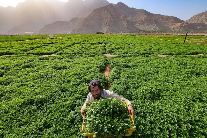 A farmers havests leafy vegetables in a field on the mountain range of Jabel Jais, in the Gulf Emirate of Ras Al Khaimah, on January 24, 2021.  / AFP / Karim SAHIB