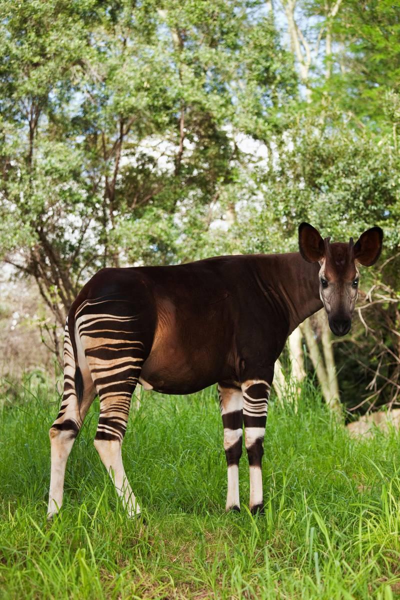 BC9CM8 Okapi Herbivorious mammal with unusual markings The Flagship species of the Ituri Rainforest Democratic Republic of Congo