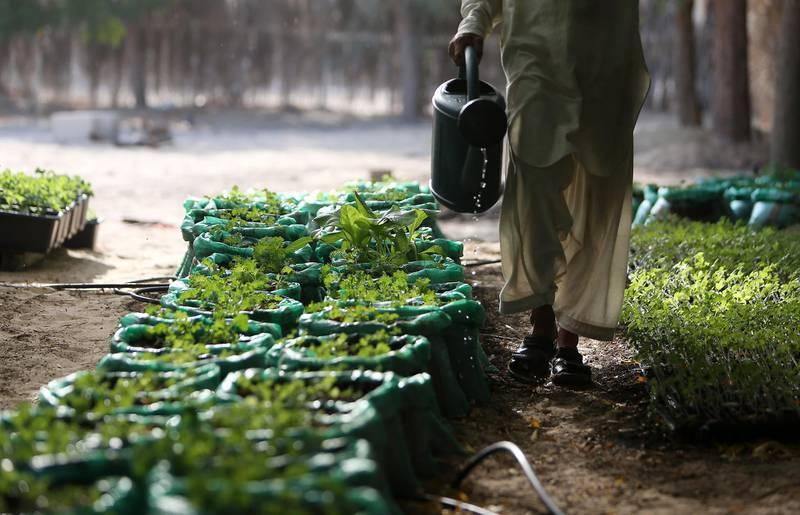 DUBAI , UNITED ARAB EMIRATES – Nov 2 , 2015 : Kale plants at the Organic Oasis farm in Dubai. ( Pawan Singh / The National ) For Weekend. Story by Melanie Hunt *** Local Caption ***  PS0211- ORGANIC OASIS16.jpg