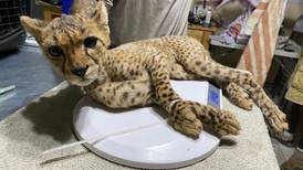 African training camp aims to stop cheetah trafficking to the Gulf