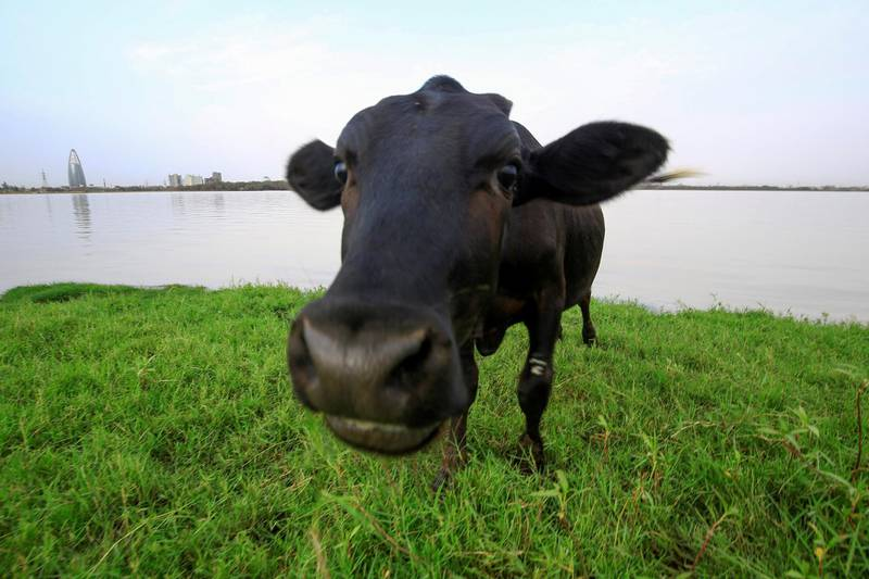A cow grazes on the banks of the Nile river in the Sudanese capital Khartoum on June 9, 2020. (Photo by ASHRAF SHAZLY / AFP)