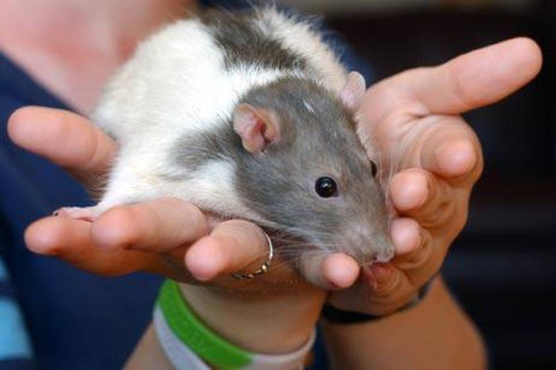 """** FOR USE WITH AP LIFESTYLES ** Sarah McCarthy of Lapeer, Mich., holds her pet rat Raisin, which she has owned for two years at her home on June 15, 2007.  """"They are cute and friendly, better than fish who do nothing,"""" said McCarthy. (AP Photo/Charlie Cortez)"""