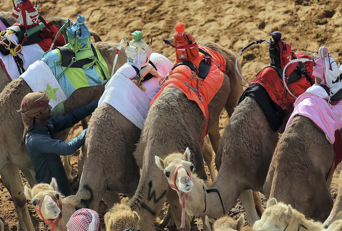Dubai, April, 06, 2019: Camels participate on the first day of the Marmoom season finals for the camel racing season at Al Marmoom Heritage Village in Dubai. Satish Kumar/ For the National / Story by Anna  Zacharias