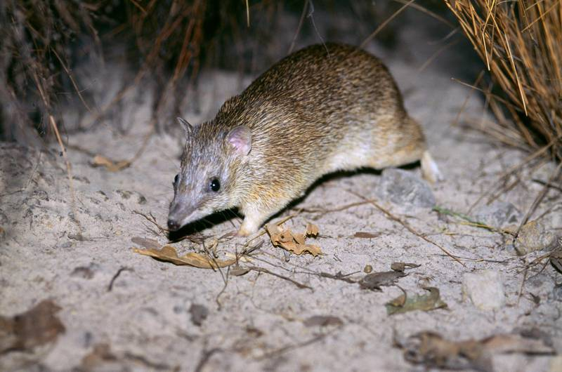 Golden bandicoot, Isoodon auratus, vulnerable species, Top End, Northern Territory, Australia. (Photo by: Auscape/UIG via Getty Images)