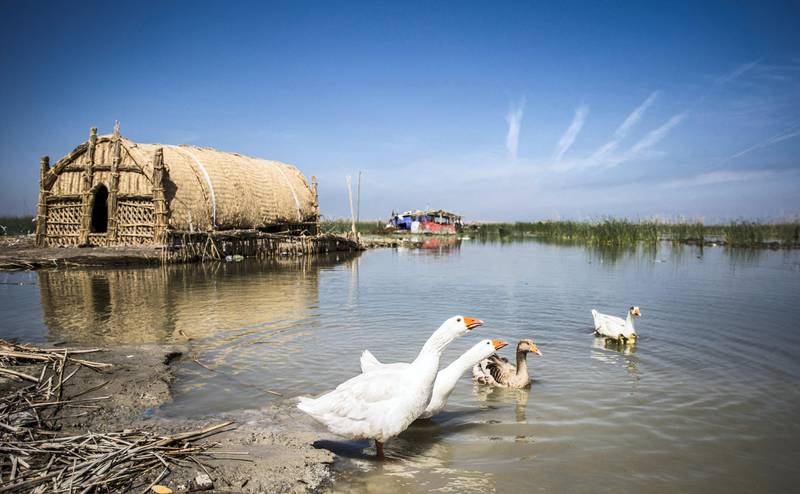 This picture taken on March 29, 2019 shows geese swimming in the marshes of the southern Iraqi district of Chibayish in Dhi Qar province, about 120 kilometres northwest of the southern city of Basra. - Thirty years after Saddam Hussein starved them of water, Iraq's southern marshes are blossoming once more thanks to a wave of ecotourists picnicking and paddling down their replenished river bends. (Photo by Hussein FALEH / AFP)