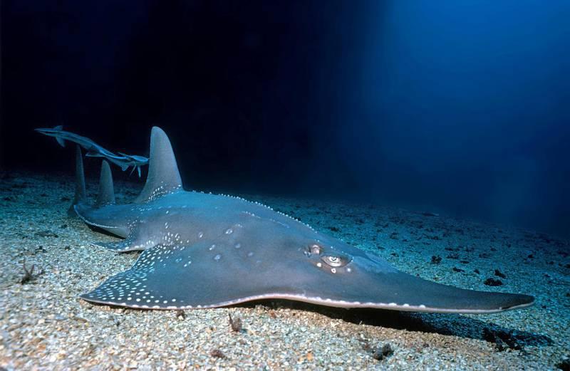 RYX5X7 Giant Guitar fish or Giant Guitar shark (Rhynchobatus djiddensis), with suckerfishes (Echeneis naucrates), Baa Atoll, Maldive islands
