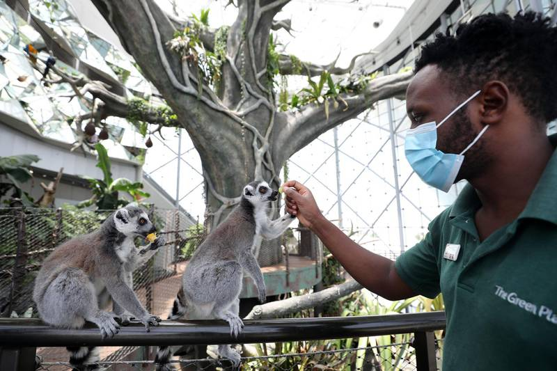 Biologist Peter Njoroge feeds the ring tailed lemurs at the Green Planet. A day in the life of keepers at the Green Planet in Dubai on June 16th, 2021. Chris Whiteoak / The National.  Reporter: N/A for Lifestyle