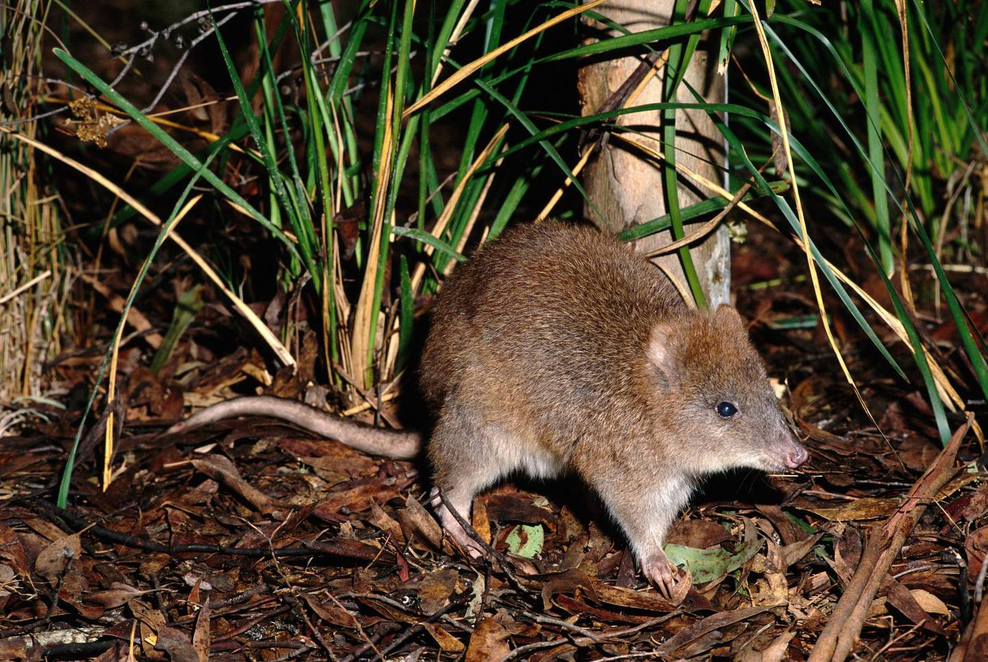 A0AP2B LONG FOOTED POTOROO Potorous longipes. Adult eastern Victoria Australia Endangered species. Image shot 1997. Exact date unknown.