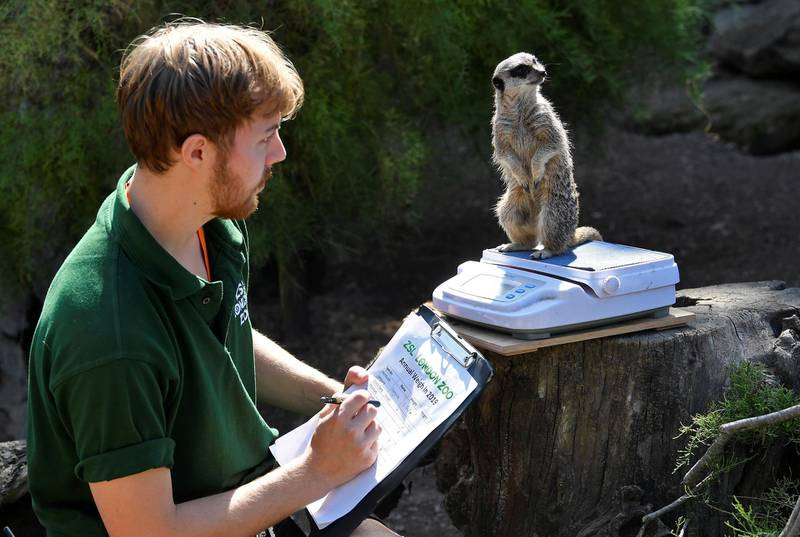 A meerkat stands on scales as zookeeper Luke Taylor poses during the annual weigh-in at London Zoo, London, Britain, August 22, 2019.  REUTERS/Toby Melville