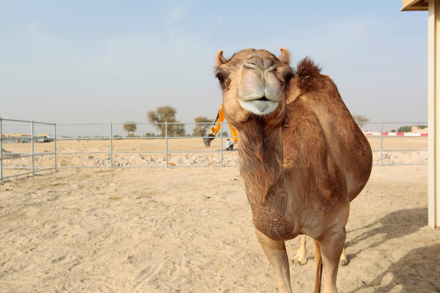 Dubai, United Arab Emirates - April 7, 2015.  Injaz, the cloned camel celebrates her 6th birthday and is pregnant.  She cooperated by looking at the camera, at the Reproductive Biotechnology Centre.  ( Jeffrey E Biteng / The National )  Editor's Note; Mel S reports. *** Local Caption ***  JB070415-Injaz03.jpg