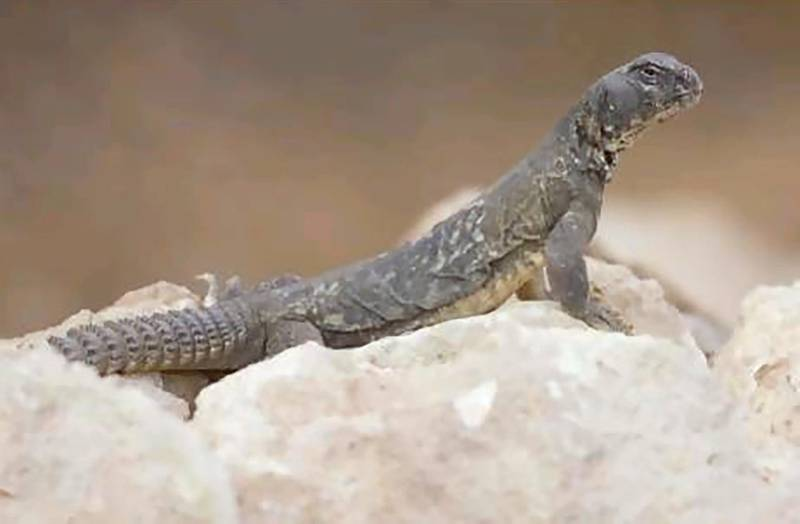 Egyptian spiny-tailed lizard (Uromastyx aegyptia) - IUCN status: Vulnerable - Found in much of the Middle East in gravelly and stony areas, but numbers have declined - Two sub-species exist in the UAE, where it is threatened by habitat loss
